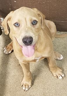 Labrador Retriever/Hound (Unknown Type) Mix Puppy for adoption in Havelock, North Carolina - Relic