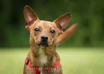 Chihuahua Mix Dog for adoption in Macon, Georgia - Pepper