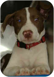 Pointer Mix Puppy for adoption in Inman, South Carolina - West