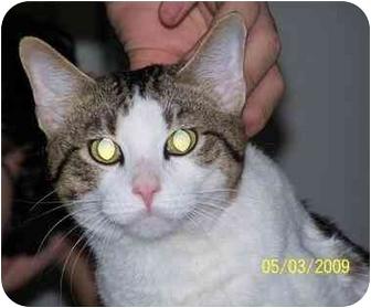Domestic Shorthair Cat for adoption in White Settlement, Texas - Alvin