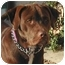 Photo 1 - Labrador Retriever Mix Dog for adoption in Rolling Hills Estates, California - Gunner