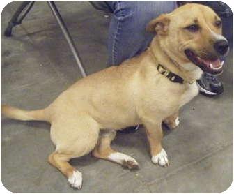 Corgi Mix Dog for adoption in Loudonville, New York - Gump
