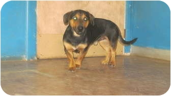Basset Hound/Dachshund Mix Dog for adoption in Plano, Texas - Romeo