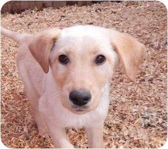 Labrador Retriever Mix Puppy for adoption in Hagerstown, Maryland - Ralphie