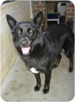 Shepherd (Unknown Type) Mix Dog for adoption in Greenville, North Carolina - Destiny