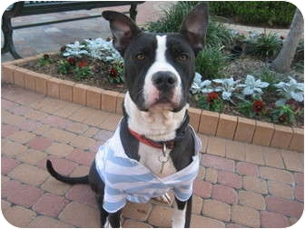 American Pit Bull Terrier Mix Dog for adoption in Kingwood, Texas - Boston