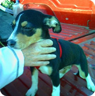 Rat Terrier Mix Puppy for adoption in Carmel, Indiana - Celine