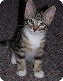 Domestic Shorthair Kitten for adoption in Owatonna, Minnesota - Monty