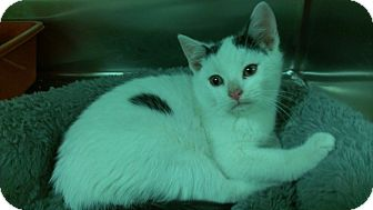 Domestic Shorthair Kitten for adoption in Richboro, Pennsylvania - Leonardo DiCaprio