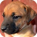 Boxer/Labrador Retriever Mix Puppy for adoption in Manchester, Connecticut - Nelly ADOPTION PENDING