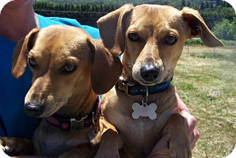 Chihuahua/Dachshund Mix Dog for adoption in Grants Pass, Oregon - Rambo