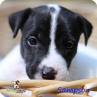 Terrier (Unknown Type, Medium) Mix Puppy for adoption in Alpharetta, Georgia - Sampson