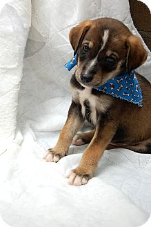 Labrador Retriever/Hound (Unknown Type) Mix Puppy for adoption in Hot Springs, Arkansas - Zeke