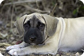 Shar Pei Mix Puppy for adoption in Fort Collins, Colorado - Laurel