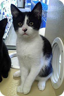 Domestic Shorthair Kitten for adoption in Smithfield, North Carolina - Flash