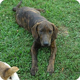 Labrador Retriever Mix Puppy for adoption in Conway, New Hampshire - Rolo