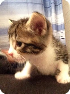 Domestic Shorthair Kitten for adoption in Wichita Falls, Texas - Trafalgar