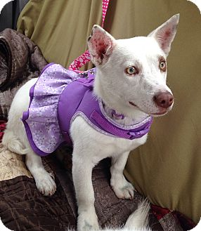 Corgi Mix Puppy for adoption in Pompton Lakes, New Jersey - Corgi