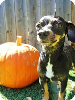 Miniature Pinscher Mix Dog for adoption in Dublin, California - Pumpkin