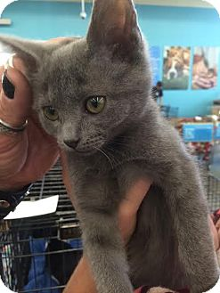 Russian Blue Kitten for adoption in Los Angeles, California - Dusty