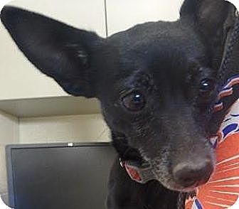 Chihuahua Mix Dog for adoption in Las Vegas, Nevada - Carrie