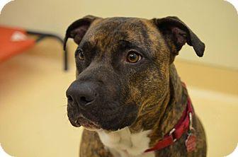 American Staffordshire Terrier Dog for adoption in Westbury, New York - Butch