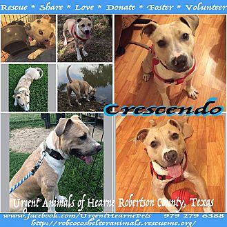American Staffordshire Terrier Mix Dog for adoption in Hearne, Texas - Crescendo