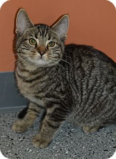 Domestic Shorthair Kitten for adoption in Michigan City, Indiana - Dexter
