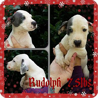 Labrador Retriever/Hound (Unknown Type) Mix Puppy for adoption in Sumter, South Carolina - Rudolph