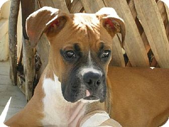 Boxer Dog for adoption in Houston, Texas - KOSMO