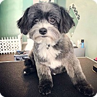Shih Tzu Mix Dog for adoption in Redondo Beach, California - Sophia has a WiggleButt!