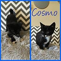 Adopt A Pet :: Cosmo - Covington, KY