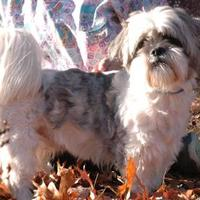 Shih Tzu Mix Dog for adoption in Bedford, New Hampshire - Prince