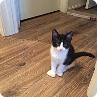 Adopt A Pet :: Sammy Polydactyl - Mission Viejo, CA