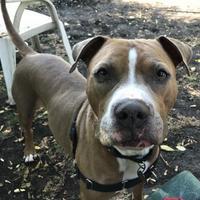 Adopt A Pet :: Happy - Oak Park, IL