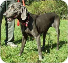 Weimaraner Dog for adoption in Milton, Massachusetts - Rose