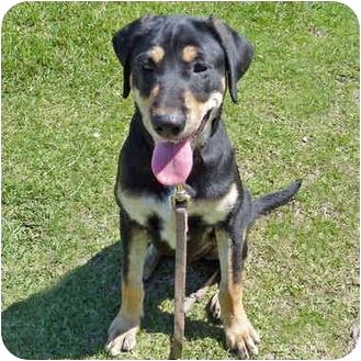 Labrador Retriever Mix Puppy for adoption in San Clemente, California - ZACK