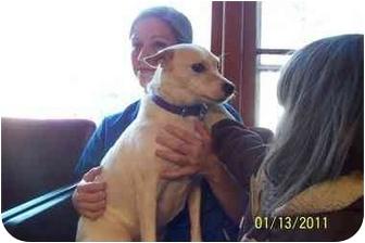 Labrador Retriever/Terrier (Unknown Type, Medium) Mix Dog for adoption in Naugatuck, Connecticut - Gypsy