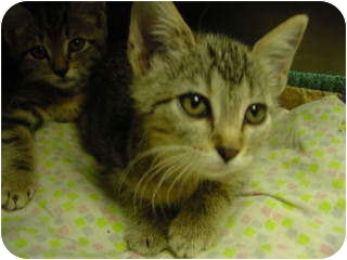 Domestic Shorthair Cat for adoption in Marshalltown, Iowa - Betty