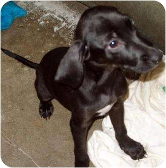 Jack Russell Terrier/Labrador Retriever Mix Puppy for adoption in Mt. Vernon, Illinois - The Puppy Bunch