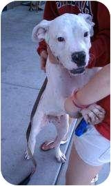 Boxer Mix Dog for adoption in Tucson, Arizona - Adonis
