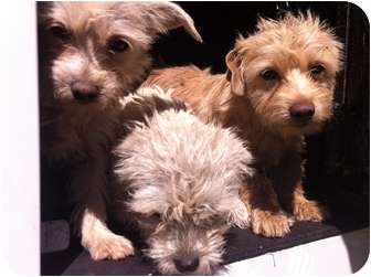 Cairn Terrier/Fox Terrier (Toy) Mix Puppy for adoption in Los Angeles, California - Lola
