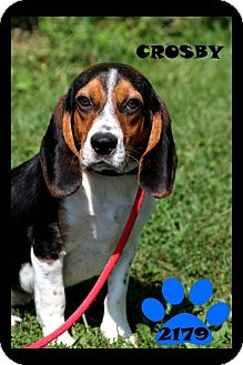 Beagle Dog for adoption in Cincinnati, Ohio - Crosby