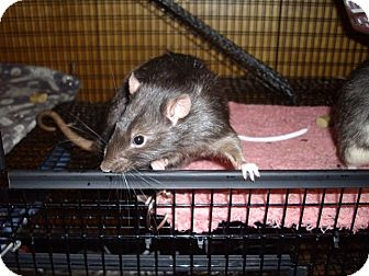 Rat for adoption in Greenwood, Michigan - Dos