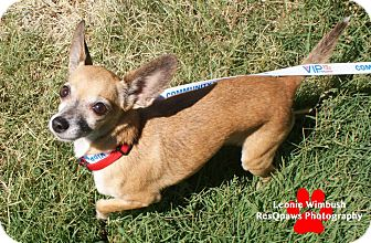 Chihuahua Mix Dog for adoption in Yuba City, California - 06/28 Marco
