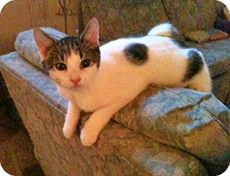 American Shorthair Kitten for adoption in Tampa, Florida - Brady