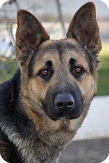 German Shepherd Dog Mix Puppy for adoption in Los Angeles, California - Buster von Berg