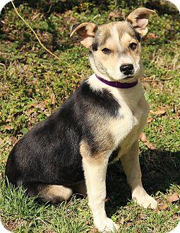 Siberian Husky Mix Puppy for adoption in Washington, D.C. - Innis