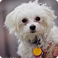 Adopt A Pet :: Bianca - Mt Gretna, PA