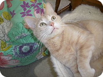 Domestic Shorthair Cat for adoption in Olmsted Falls, Ohio - Fred